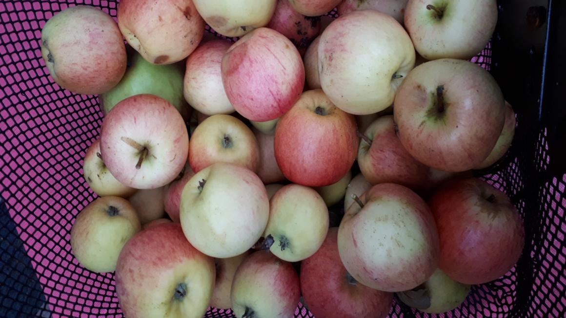 Apfelmus selber machen: Bio und (fast) umsonst!