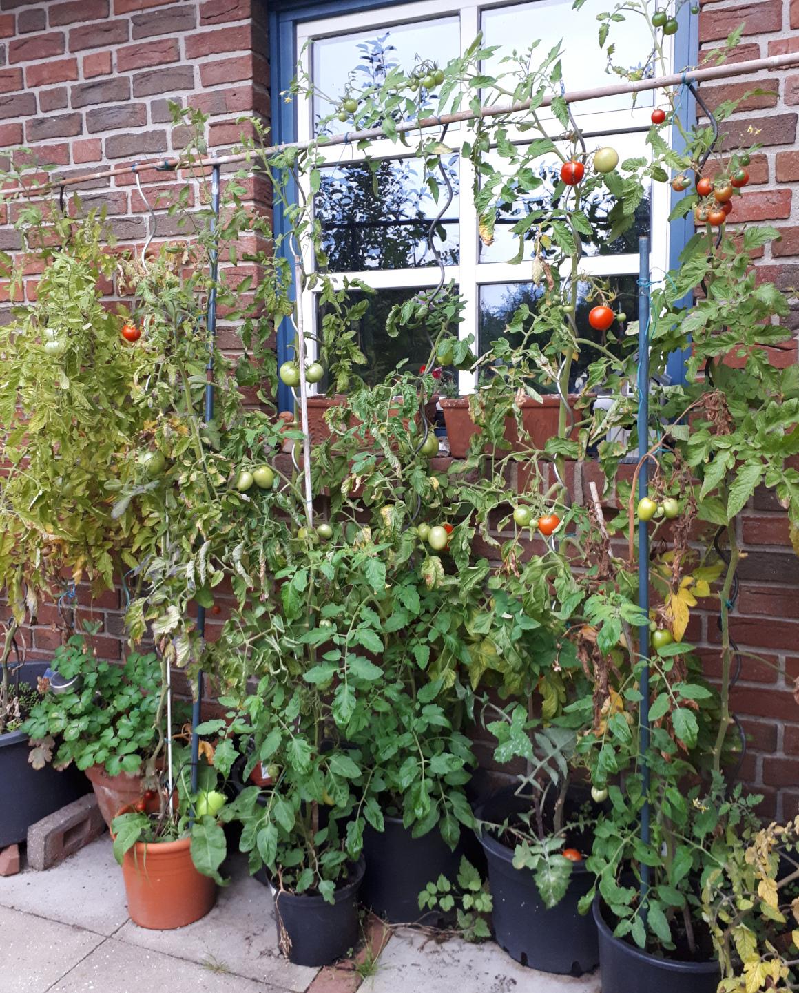 Tomaten selber ziehen: Tipps und Tricks, wir Ihr Eure Tomaten ganz einfach selbst anbauen könnt!