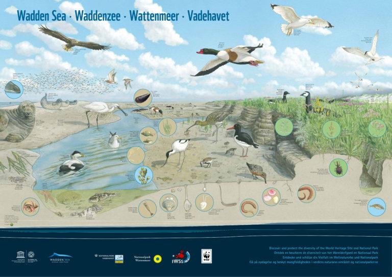 Unser Wattenmeer: Infos zur Entstehung, zum Ökosystem und zum Weltnaturerbe: Tiere im Wattenmeer Poster WWF