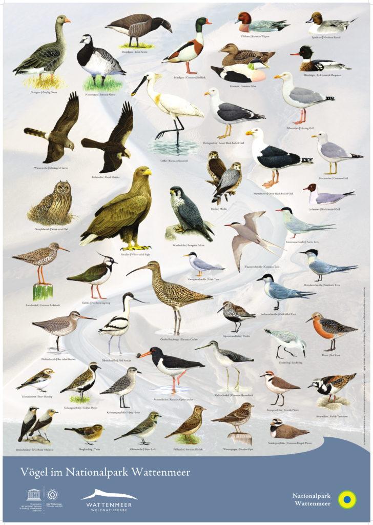 Unser Wattenmeer: Infos zur Entstehung, zum Ökosystem und zum Weltnaturerbe: Vögel im Wattenmeer Poster Nationalpark Wattenmeer