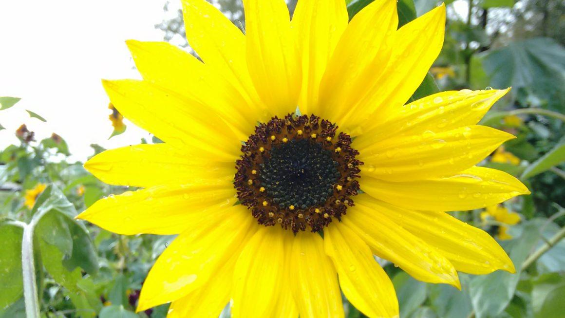 Hintergrundbilder Natur_Hintergrundbilder Sommer_Sonnenblume