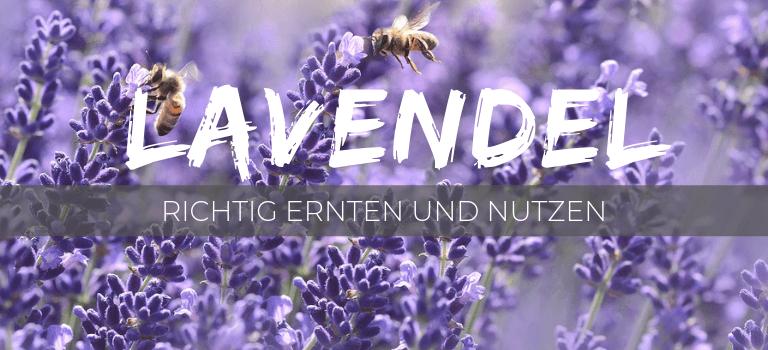 Lavendel: Wunderpflanze richtig ernten und nutzen