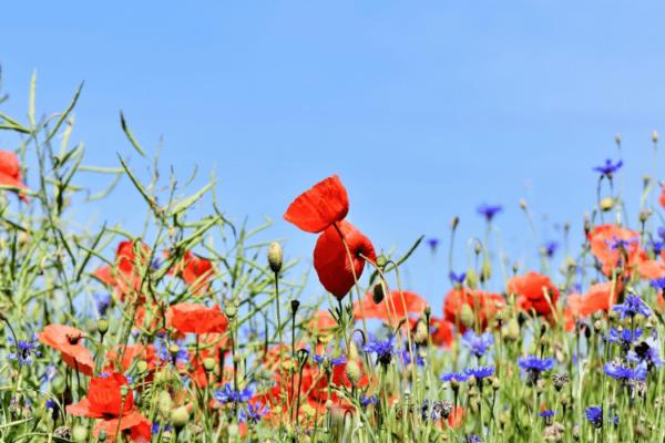 Einheimisch und bienenfreundlich: Samenbomben selber machen