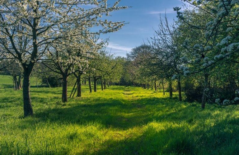 Ökologischer Nutzen von Streuobstwiesen: Blühende Streuobstwiese