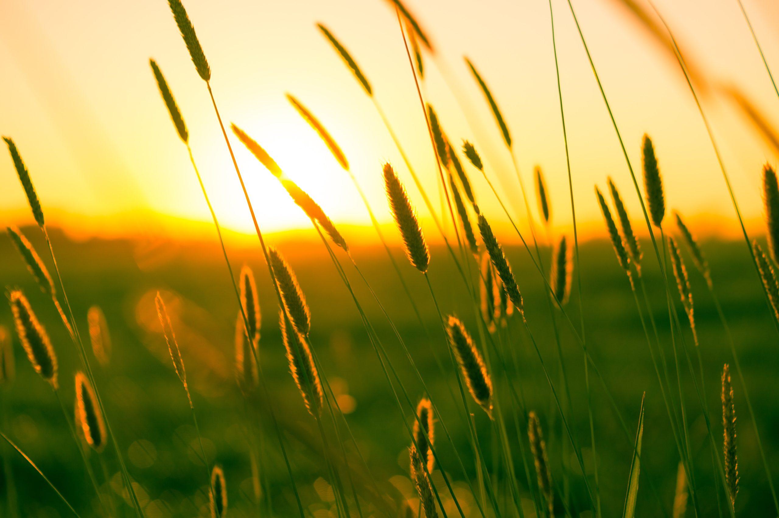 Sonnenuntergang auf dem Feld: Sommer in Schleswig-Holstein
